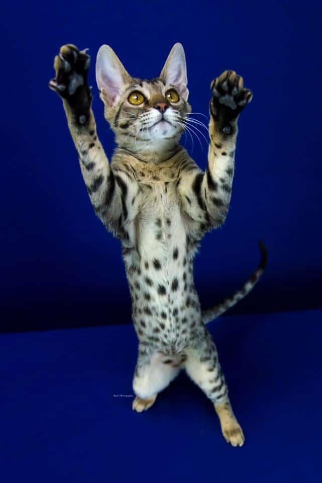 Exotik Cats Kitten 4