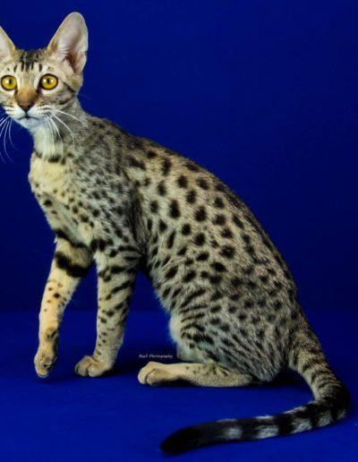 Izabella Exotik Cats